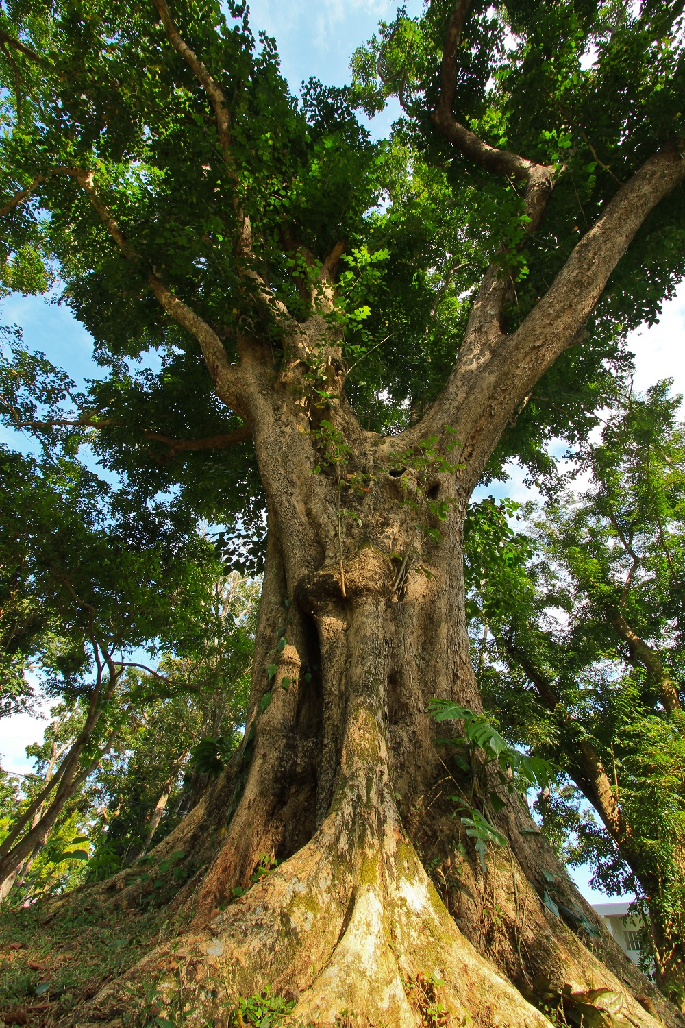 Narra 15 Native Trees That Will Give Your Home a Filipino Touch